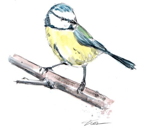 blue-tit-on-branch