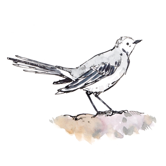 wagtail 002