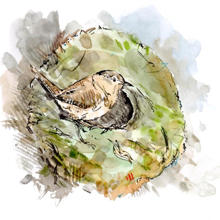 wren nest 001