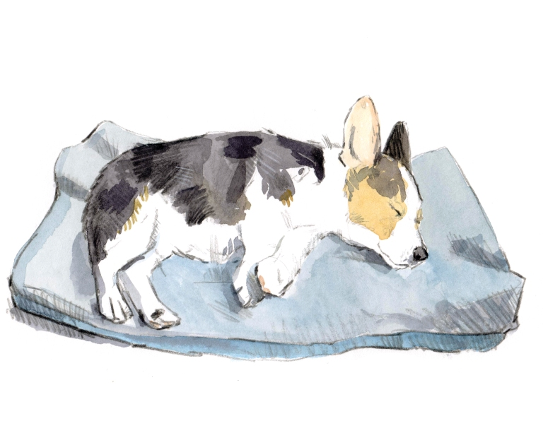 sleeping corgi 001