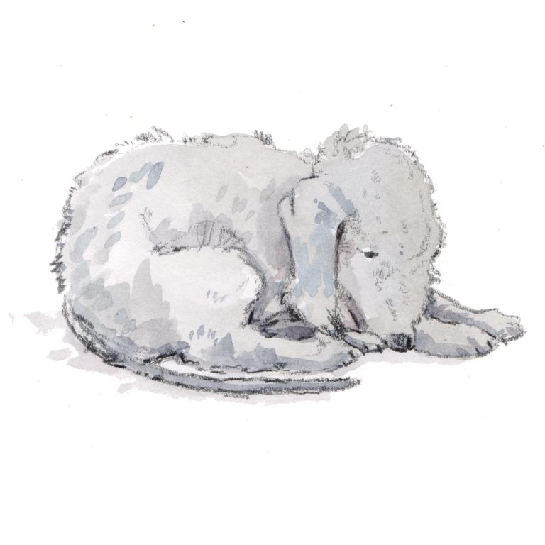 bedlington terrier 001